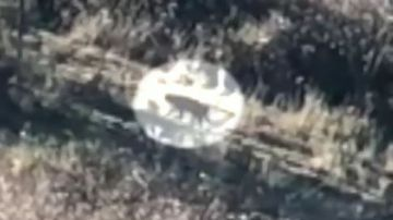 Big black cat 'five times the size of a feral' spotted west of Sydney