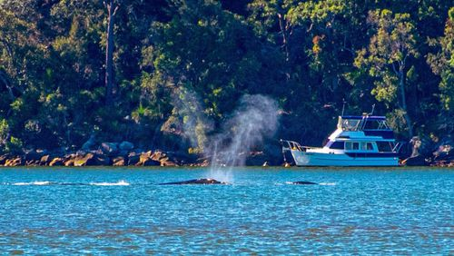 A whale and a calf have been spotted in the Hawkesbury River, north of Sydney.
