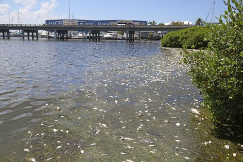 The 'red tide' of toxic algae has devastated marine life and kept people from going near the water in Florida. Picture: AP