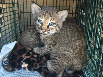 Rescuers bitten after mistaking bobcats for kittens
