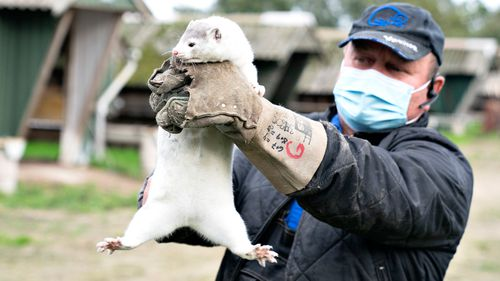 Mink breeder Thorbjoern Jepsen holds up a mink, as police forcibly gained access to his mink farm in Gjoel, Denmark
