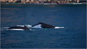 Whales - 9News - Latest news and headlines from Australia