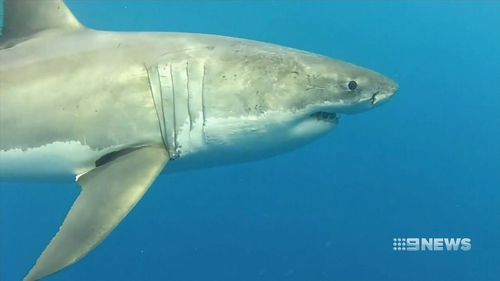 Frequent shark encounters are endangering the state's tourism industry. (9NEWS)