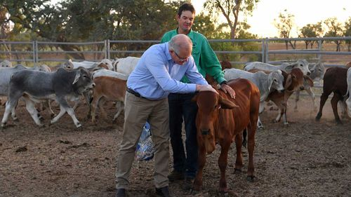 Scott Morrison inspects calves during a visit to Gipsy Plains near Cloncurry.