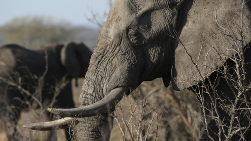 In this photo taken Friday, Sept. 30, 2016, an elephant walks through the bush at the Southern African Wildlife College on the edge of Kruger National Park in South Africa. As teams of poachers stalk rhinos and elephants in the park, wildlife officials are turning to nearby communities to help stop the slaughter by using local knowledge to deter poachers, not join them. (AP Photo/Denis Farrell)