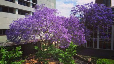 The University of New South Wales has also had its campus brightened up by the purple trees. (Twitter: @UNSW)