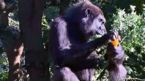 Baby gorilla due at Melbourne Zoo