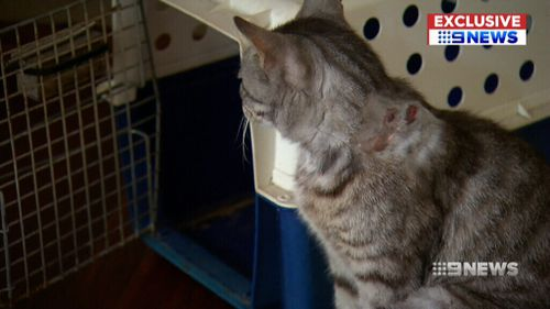 Vincent the cat was shot in the neck by an arrow. (9NEWS)