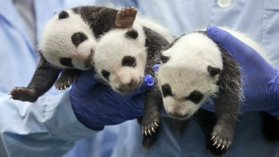 The panda cubs at Chimelong Safari Park are the world's only surviving triplets. (AP Photo/Kin Cheung)