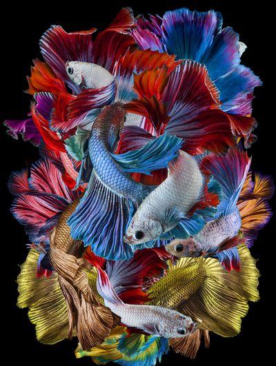 Tarian Ikan Cupang