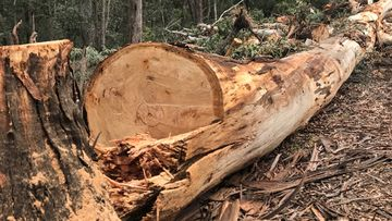 Chainsaw-wielding vandals cut down century-old trees