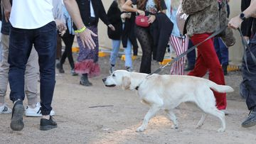 A sniffer dog at Splendour in the Grass Festival in northern NSW.