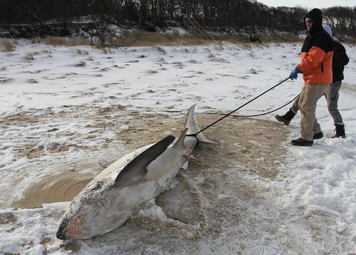 "At least three ""sharkcicles"" have washed up on beaches in the Cape Cod region. (Atlantic White Shark Conservancy)"