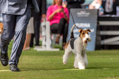 Best in Group (Terrier): Wire fox terrier