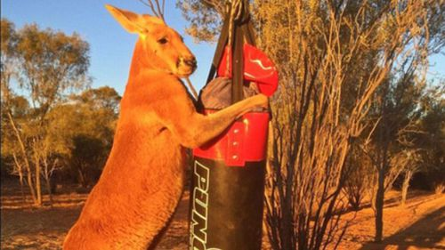 Roger, the super buff kickboxing kangaroo is back and bigger than ever