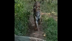 Tourists on safari chased by Tigress