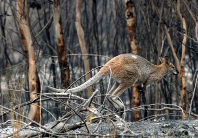 Wildlife that survived the bushfire in Wollemi National Park in Sydney graze for food, Sunday, November 17, 2019.  (AAP Image/Jeremy Piper