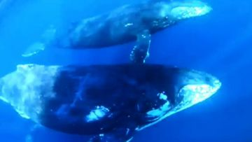 Divers wowed by unusual whale pod