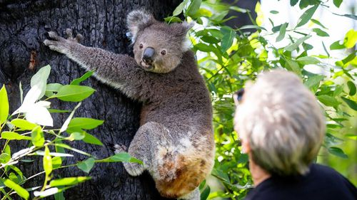 The burnt koala, named Anwen, was released into the Lake Innes Nature Reserve, after five months of recovery at the Port Macquarie Koala Hospital.