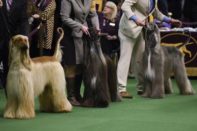 <strong>Afghan hounds</strong>