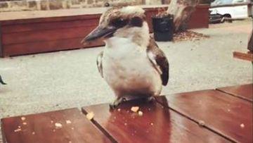 Kookaburra killing in Perth.