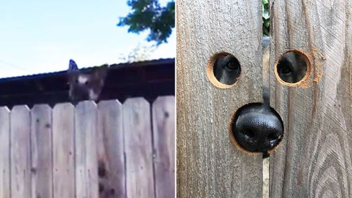 Woman creates fence 'peep hole' for neighbour's curious dog