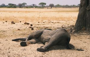 Zimbabwe elephants died from bacterial disease, say experts