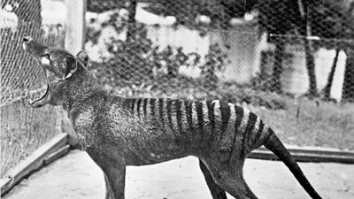 Cataloguing mix-up revealed with museum Tasmanian tiger specimens proving to be other animals