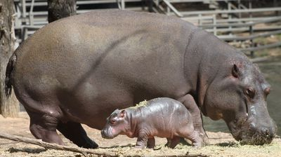 Keepers at the zoo are still working out to determine if the cute addition to the hippo family is a male or a female.