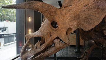 The skull of a triceratops exposed ahead of its auction sale in October.