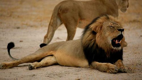Cecil the lion's cub feared dead after disappearing from pride