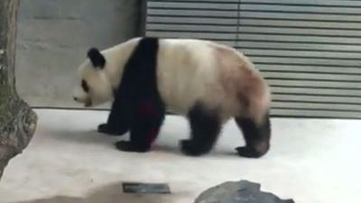Wild cure for panda's backwards walking habit