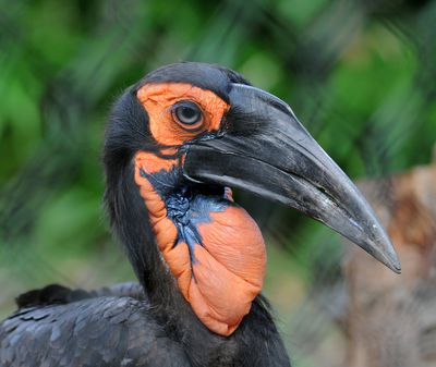 <strong>The southern ground hornbill co-parents and hires nannies</strong>