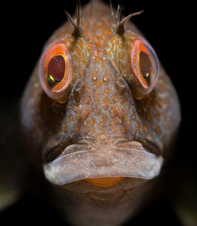"UPY British Waters Macro winner: ""Portrait of a variable blenny"""