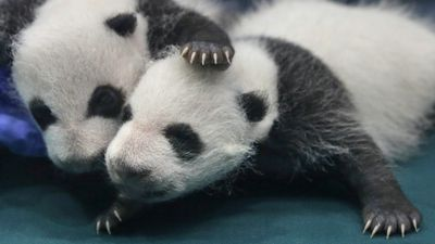 Two of the panda triplets play around while attending their one month check-up. (AP Photo/Kin Cheung)