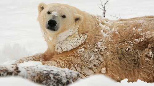 In Canada, polar bears are culled along with traditional owners and provides work through scientific research. Picture: Getty.