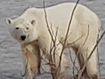 190620 Russia polar bear Norilsk climate change animals wildlife NH