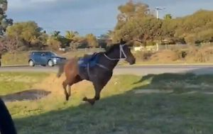Two racehorses break free from training paddock in Perth