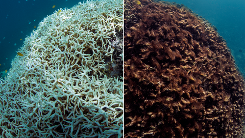 This photo shows before, March 2016, left, and after, May 2016, images of coral bleaching and death at Lizard Island on Australia's Great Barrier Reef.