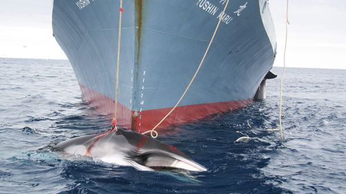 Japan whaling: World body seeks to curtail 'science' hunts