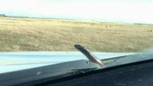 9RAW: Snake pops up from SA car bonnet during drive