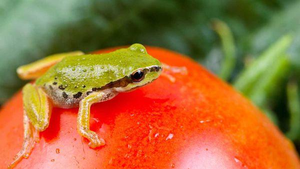 Frog in vegetable garden