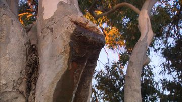 Mysterious leaking tree leaves residents stumped