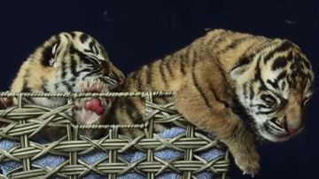 Dreamworld welcomes two tiger cubs