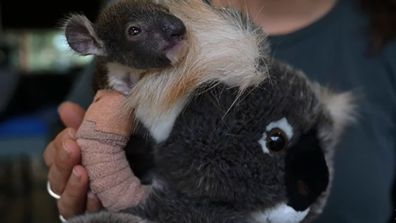 Koala joey has cast on arm at Melbourne zoo after mum fell from tree