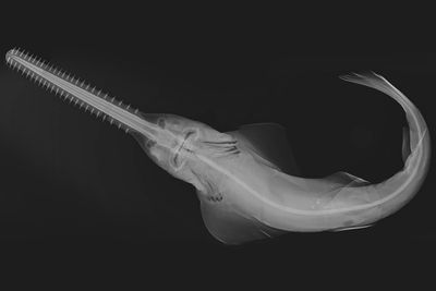Smalltooth sawfish (Pristis pectinata)