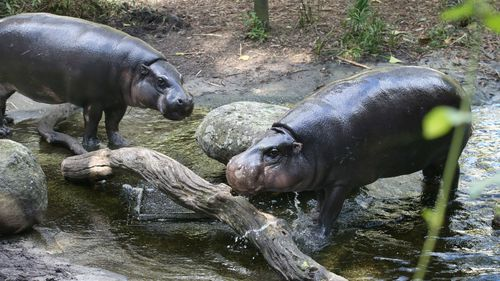Melbourne zoo have placed male and female Pygmy Hippopotami together as part of their on-going breeding program on Thursday, July 31, 2014. (AAP)