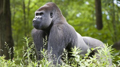 A male silverback gorilla.