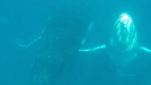 The humpback whale and its calf move closer to the divers.
