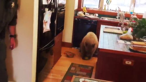 Police eventually managed to get the bear out of the house, but not before it snacked on some fruit and bread. (Placer Sheriff)